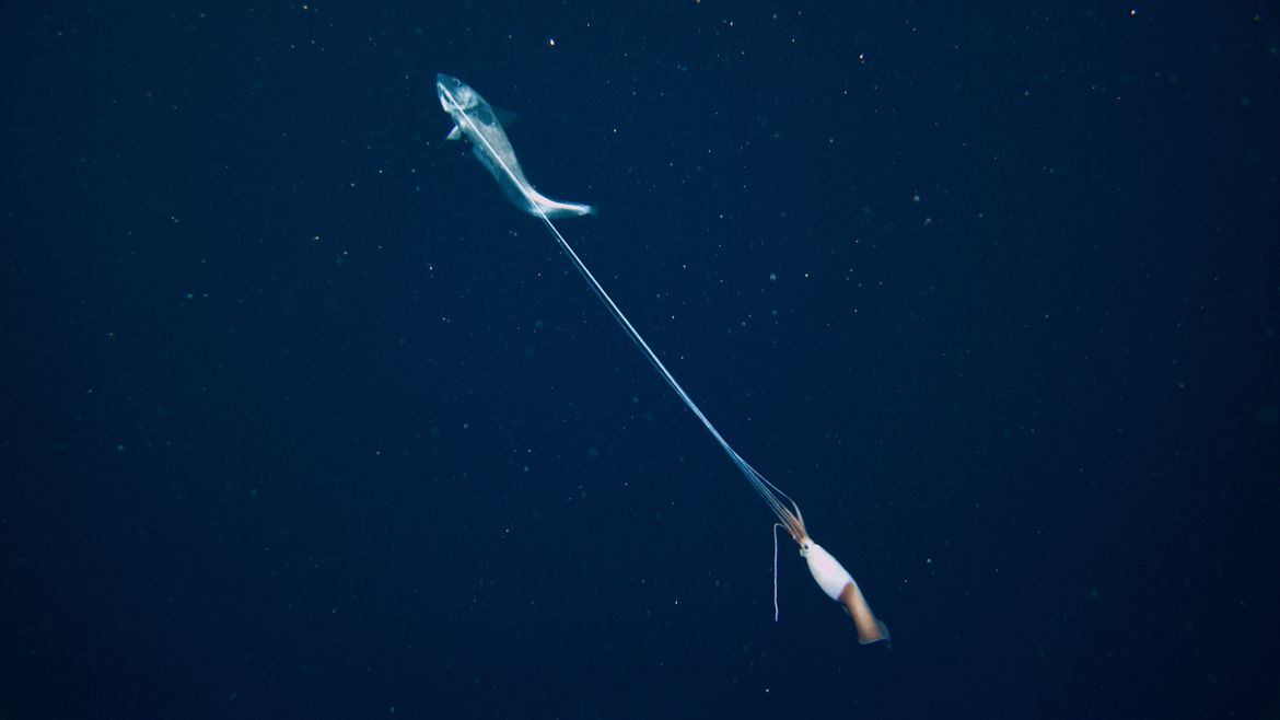 Cover Photo: a photograph of a grenadier fish pulling a squid by its tentacles