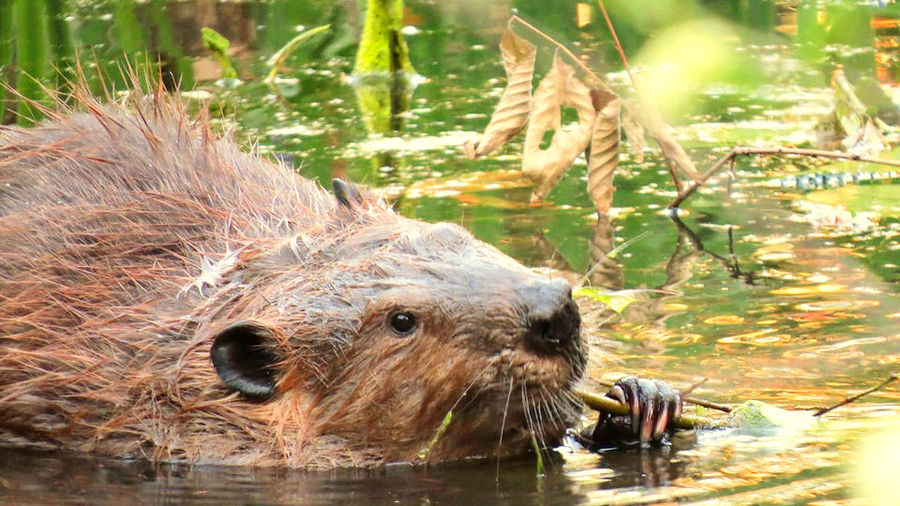 Cover Photo: A beaver eating a reed in a body of water