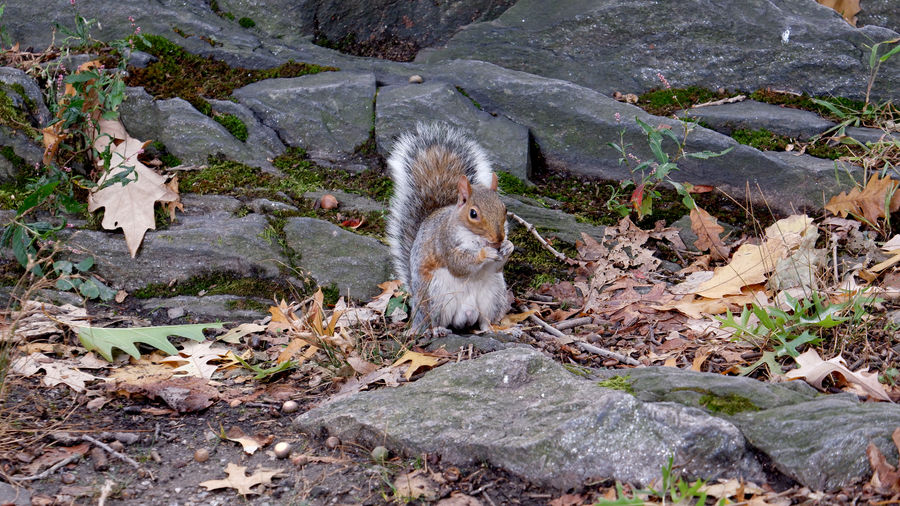 Cover Photo: A photograph of a squirrel in Central Park eating an acorn, wary of the camera being pointed at it