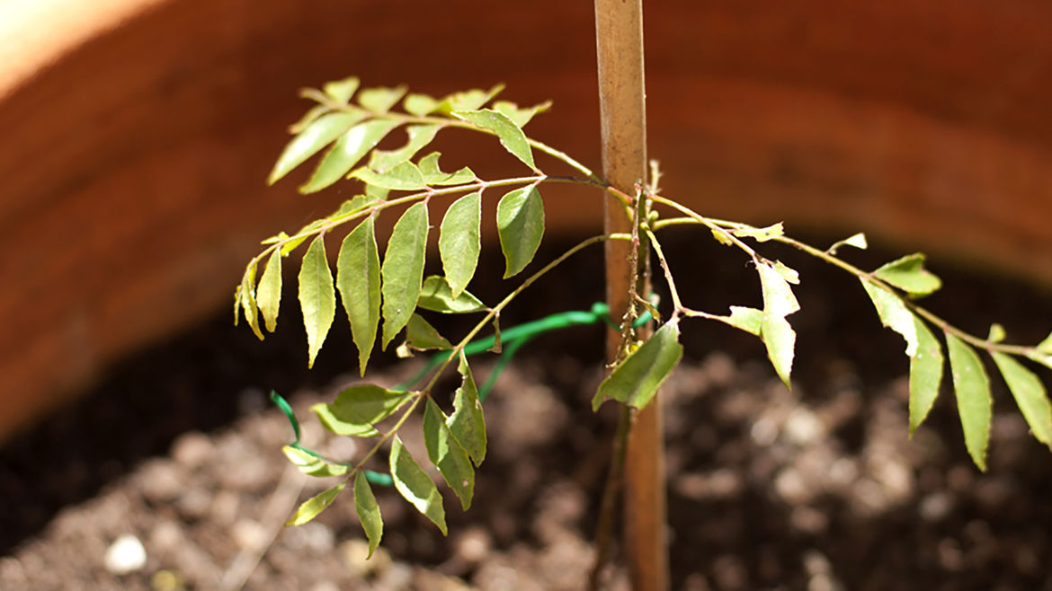 Cover Photo: This photograph shows a baby limdi plant (or curry tree) and it's fresh green leaves growing in a warm-toned pot in sunlit soil. The tiny plant is tied to a stake for support.