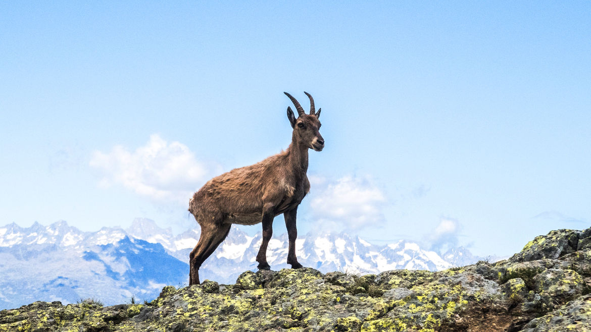 Cover Photo: A photograph of a goat on a mountain at high altitude on a clear day, looking proud and accomplished, ready for the next adventure