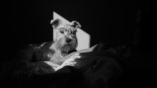 Cover Photo: A black-and-white photo of a miniature schnauzer sitting on a white blanket, calmly looking into the camera.