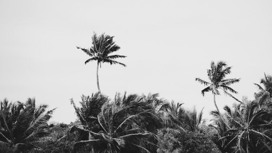 Cover Photo: This picture is a grayscale photograph of windy, moody palm trees against a flat gray sky