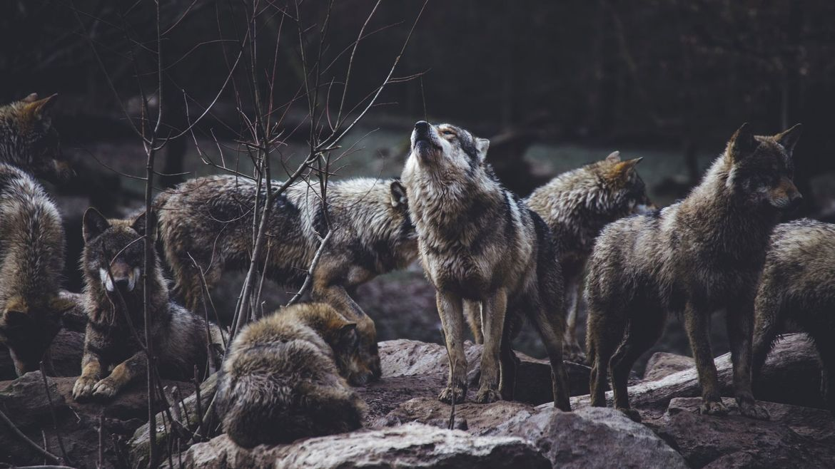 Cover Photo: This photograph shows a wolf pack on top of an outcropping of rocks, one wolf raising its head to howl and the others moving around it. The photograph is dark, as if early in the morning or just before the sun sets. In the background, you can vaguely see a river and the dark forest behind it.