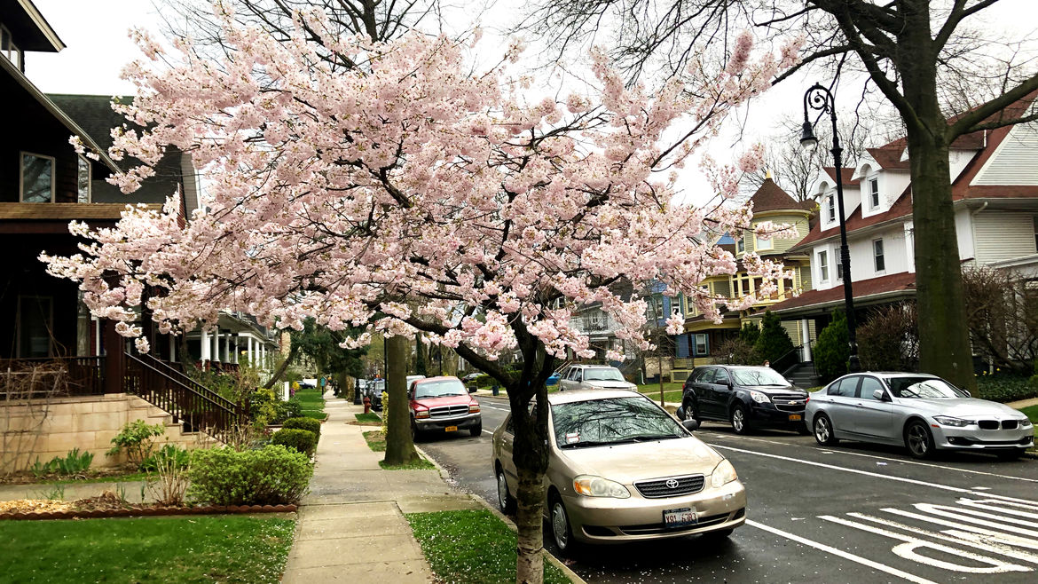 Cover Photo: A tree blooming with flowers on a suburban street in Brooklyn, New York
