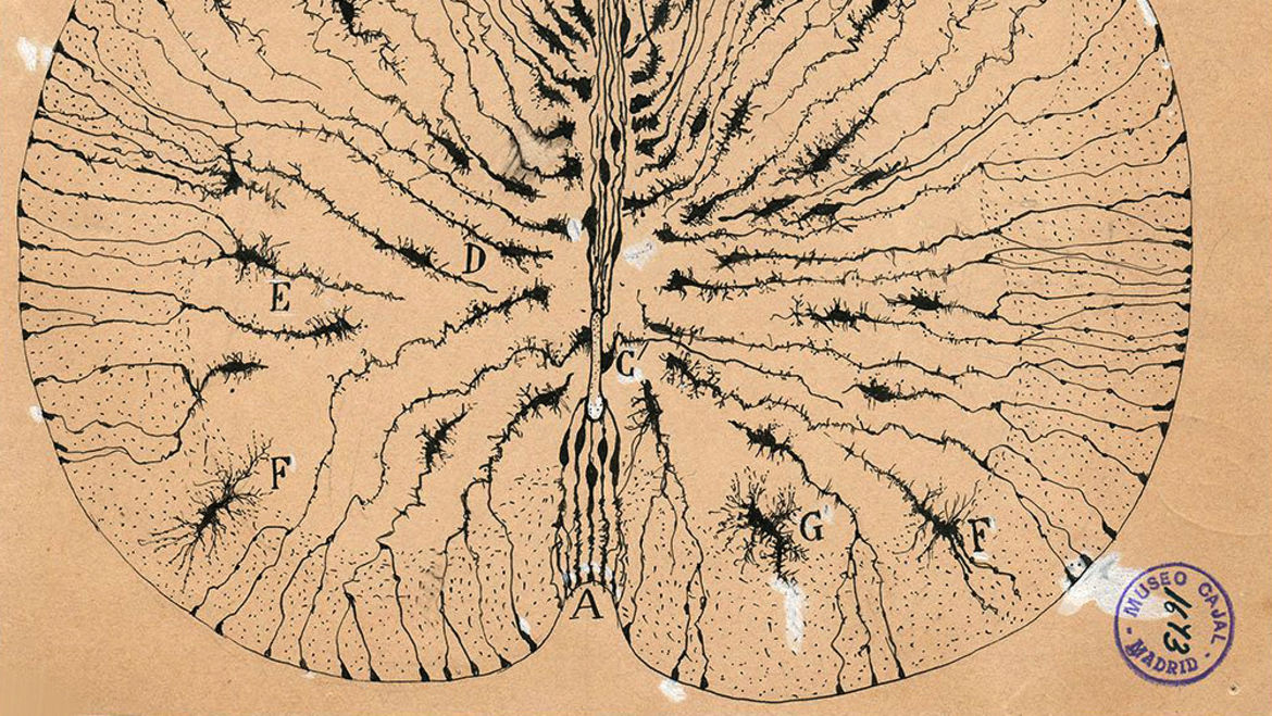 Cover Photo: This illustration by Ramón y Cajal is of the nervous system in the brain. As Anna describes in this essay, the black and white line radiating outward look like the roots of the tree, or a system of rivers, viewed from above.