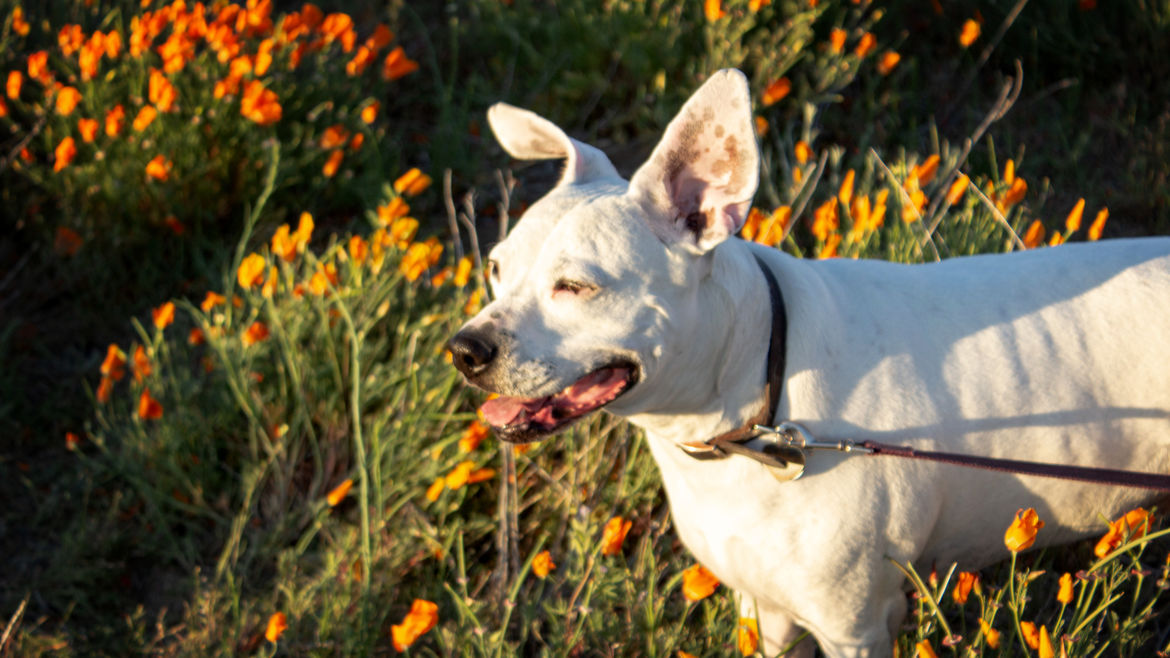 Cover Photo: This photograph is of a dog, a white pit bull mix, who is grinning happily into golden hour evening sun in a field of orange poppies