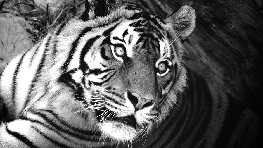 Cover Photo: A close-up image of a frightened Bengali tiger—eyes alight, mouth slightly agape, as if ready to flee