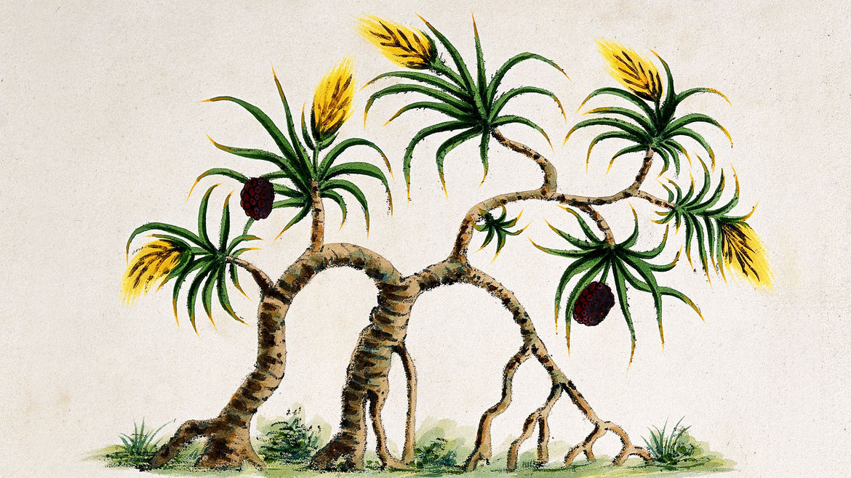 Cover Photo: Botanical illustration of a keteki flower that's native to Assam.