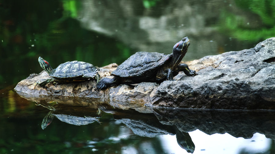 Cover Photo: In this photograph, two turtles sit on a rock at the edge of a dark green pool. They face opposite directions and their necks reach toward the sky. Both of their heads have stripes of red and dark green. You can see their reflections in the water below.