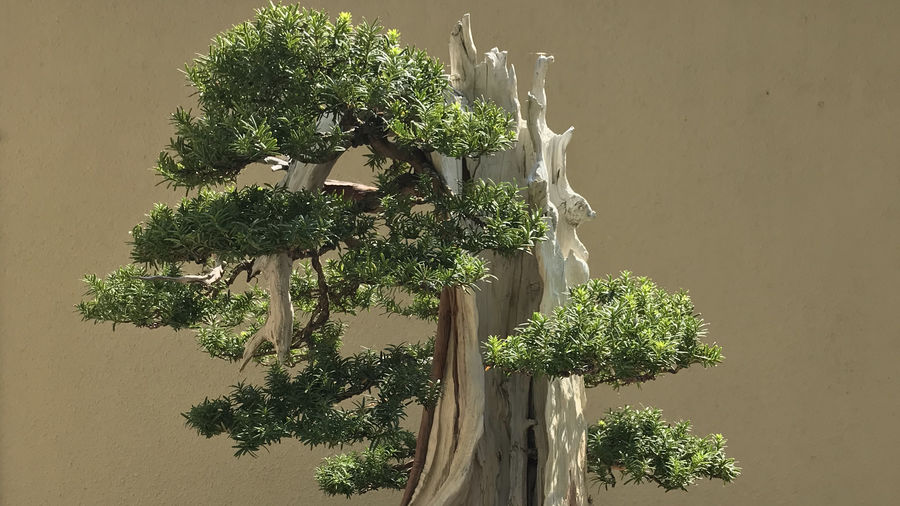 Cover Photo: Pacific Bonsai Museum, Washington (photo by author)