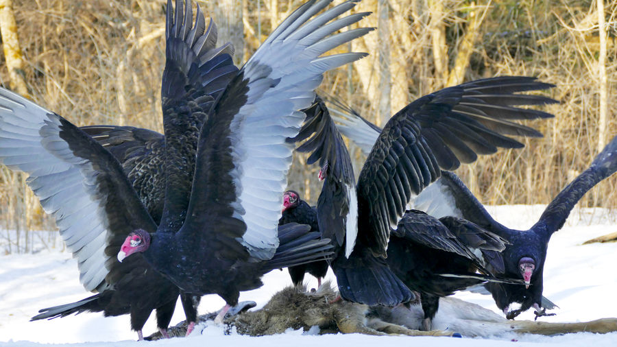 Cover Photo: In this photograph, a group of vultures, wings spread, are flocking around a deer carcass on the snow. The day is bright and you can see bare trees in the background.