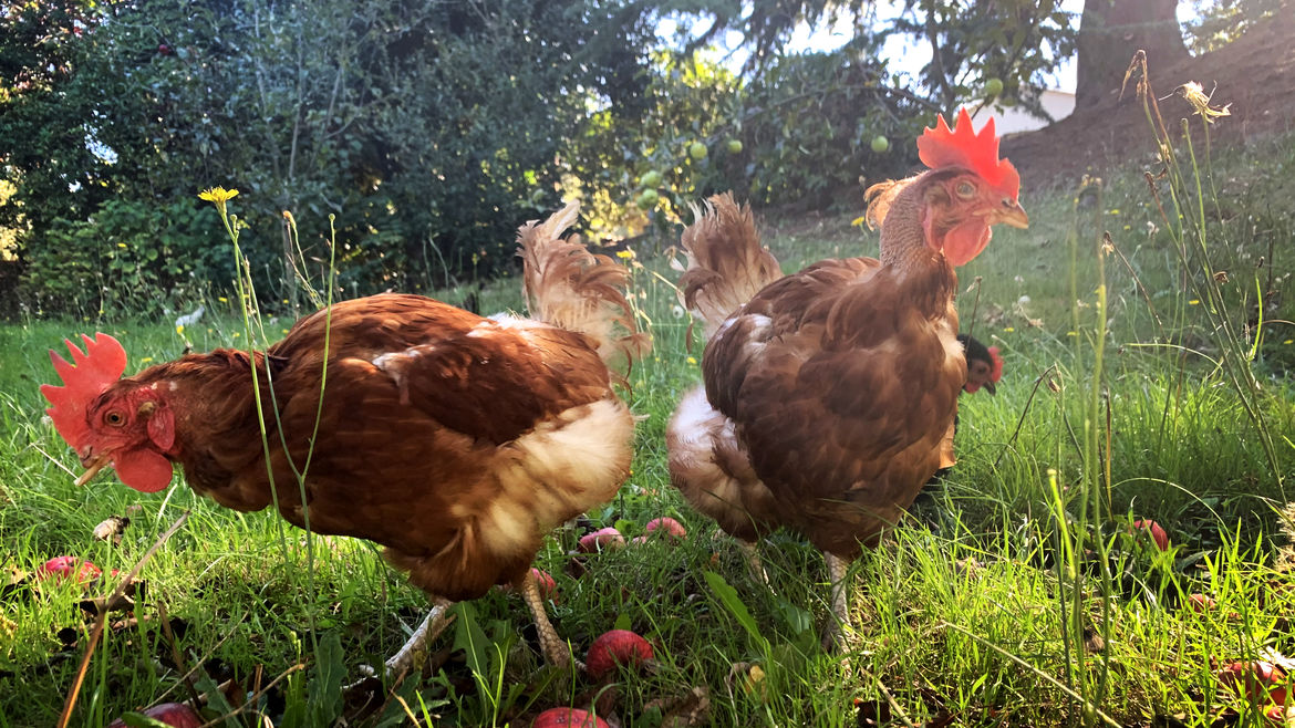 Cover Photo: Two brown hens walking in the grass, curious about their surroundings, bathed in sunlight: