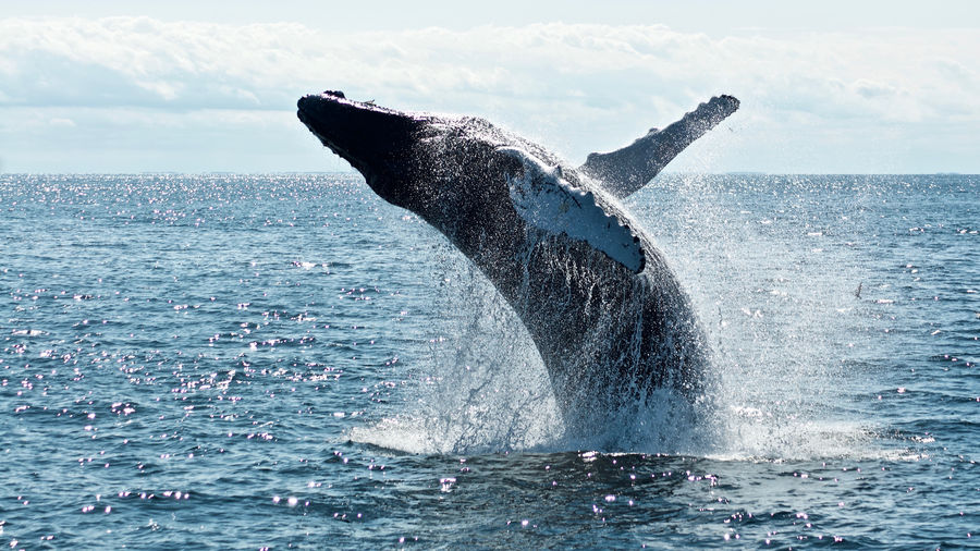 Cover Photo: In this photograph, a whale rises above the ocean, water droplets streaming from its pale fins. The weather is sunny but the blue tones in the color are chilly, as if the picture were taken on a brisk day in the autumn