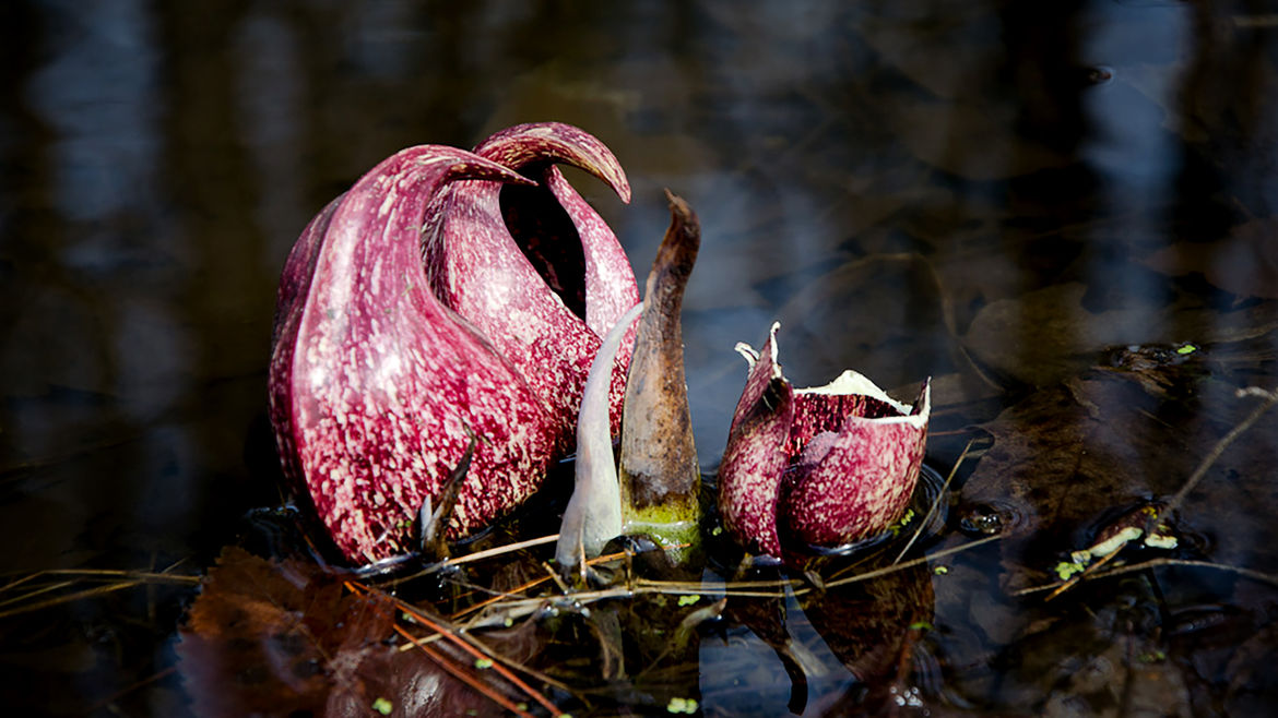 Cover Photo: The purple variety of skunk cabbage, a plant growing in a shallow body of water.