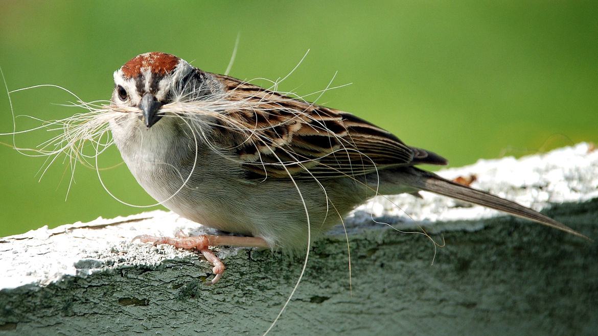 Cover Photo: closeup photograph of a bird with red, white, and brown markings sitting on a ledge, with strands of hair in its beak