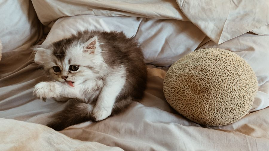 Cover Photo: This photograph shows a gray, fluffy kitten sitting on an off-white bedspread. The kitten is cleaning their leg and a cantaloupe sits next to them. The kitten and the cantaloupe are about the same size.