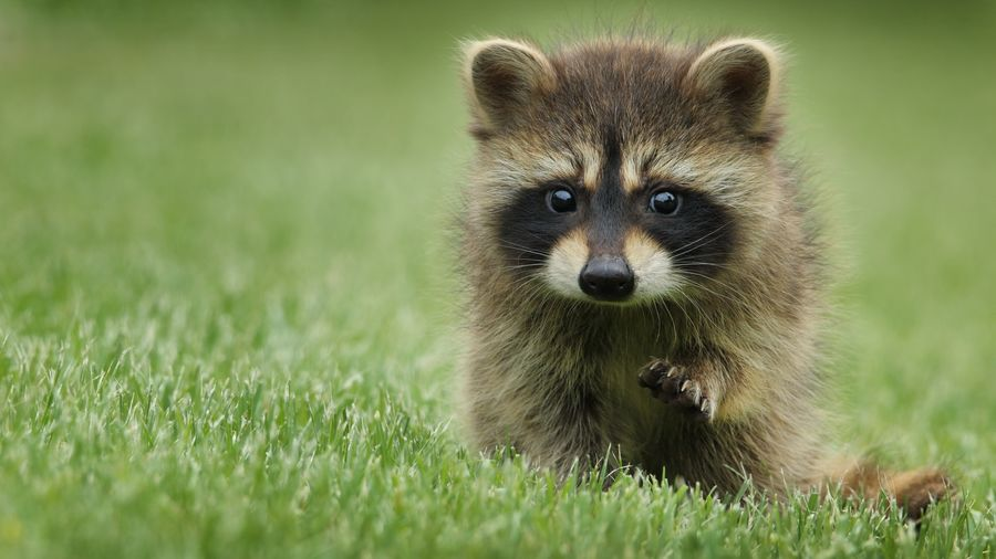 Cover Photo: This photograph shows a baby raccoon sitting on the grass. It's paw reaches forward like it wants to touch the photographer.