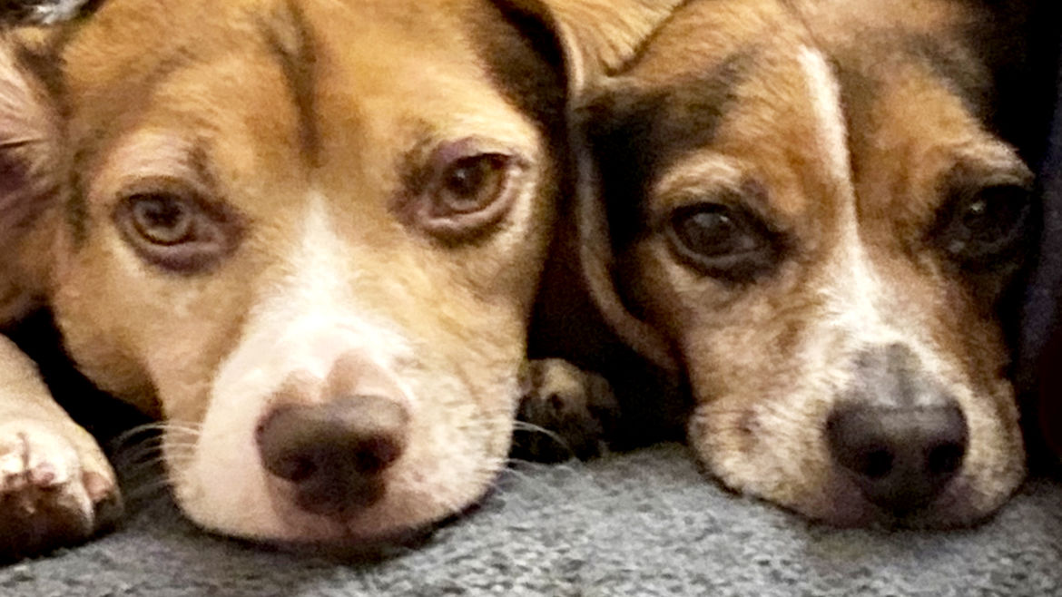 Cover Photo: A pair of beagles, side-by-side, looking at the viewer