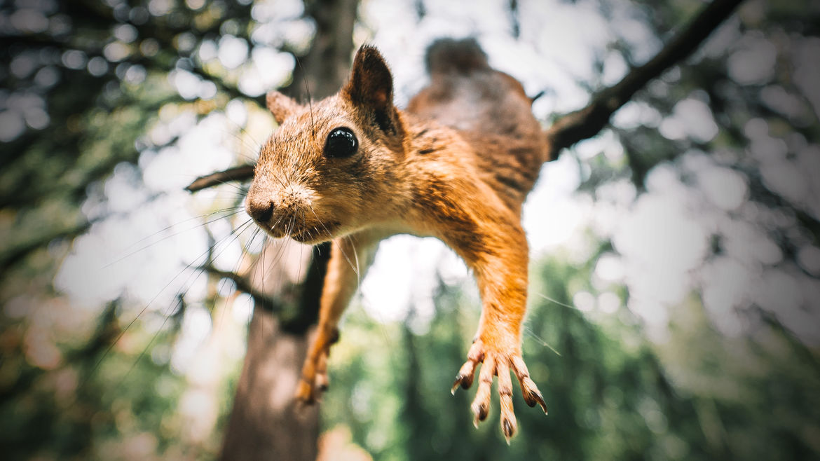 Cover Photo: A close-up photograph of a squirrel as it jumps from a tree branch
