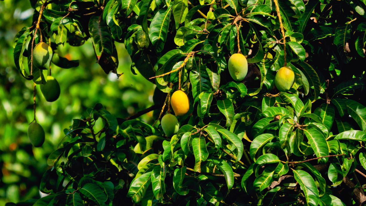 Cover Photo: A photograph of ripening mangoes on a mango tree
