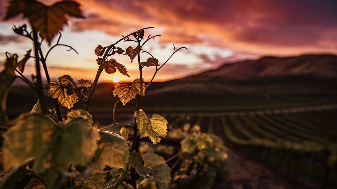 Cover Photo: A photograph of a vineyard against an orange sky as the sun sets beneath heavy clouds.