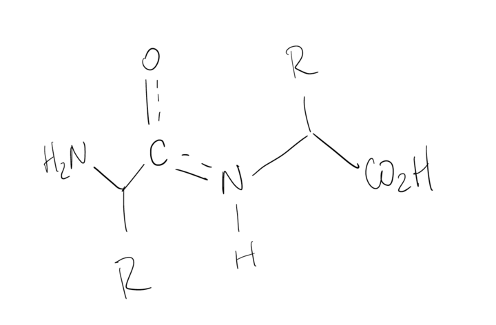 The pair of amino acids connected with a peptide bond is drawn once, except the O is connected to the C with one solid line and one dashed line. That same C is also connected to the N with one solid line and one dashed line.