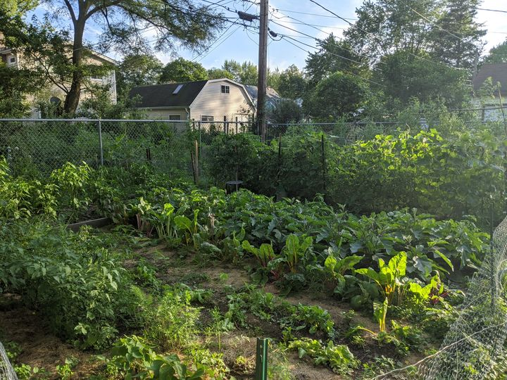 This photograph is of the author's extensive garden. We see rows and rows of healthy green vegetable plants